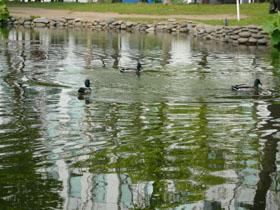 池を泳ぐ鴨たち