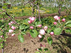 北海道 余市 フルーツ王国 美味しいフルーツ満載