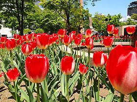 北海道 札幌 大通公園 きれいな花が咲き誇っております。