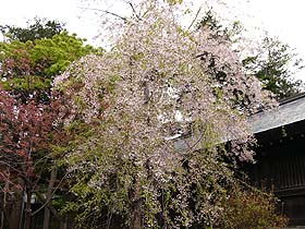 北海道グルメ彩都 スタッフ日誌 北海道のお花見 円山公園