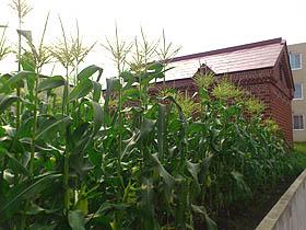 北海道グルメ彩都 スタッフ日誌 札幌市内住宅街のとうもろこし畑