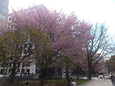 北海道グルメ彩都 スタッフ日誌 札幌大通公園 桜 咲く