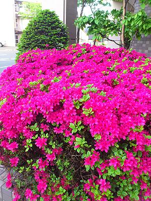 北海道グルメ彩都 スタッフ日誌 綺麗なツツジに癒されました 満開のつつじ、あっぱれ♪