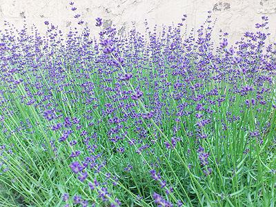 北海道グルメ彩都 スタッフ日誌 我が家のラベンダーがきれいに咲きました♪