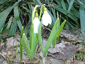 「ノースドロップ」雪の下からでもたくましく芽を出す、高山植物の一種です。