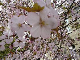 愛らしい桜の花びら